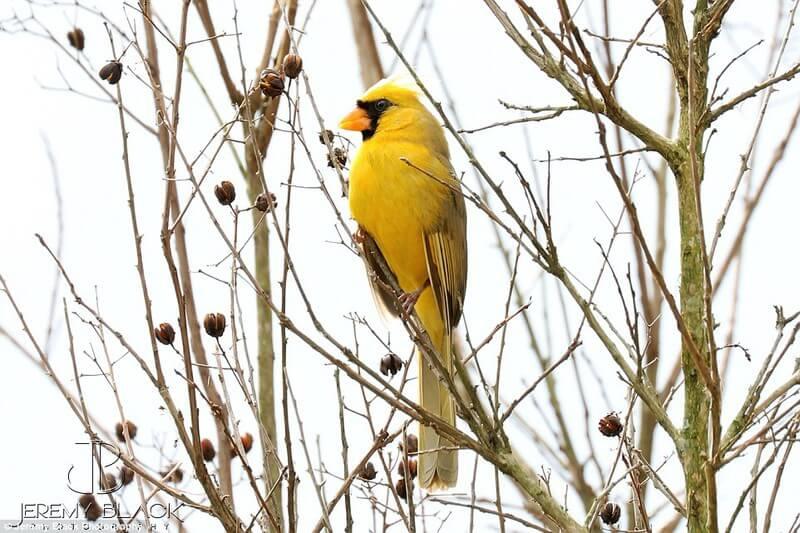 rare yellow cardinal