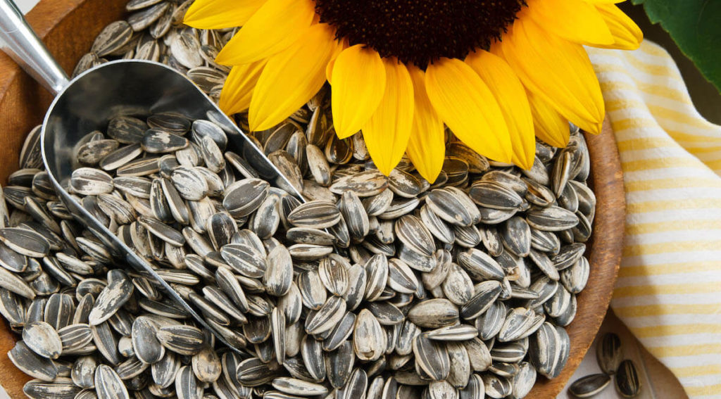sunflower seeds in hull with sunflower sitting beside