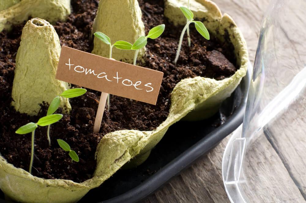 tomato seedlings growing in repurposed egg carton