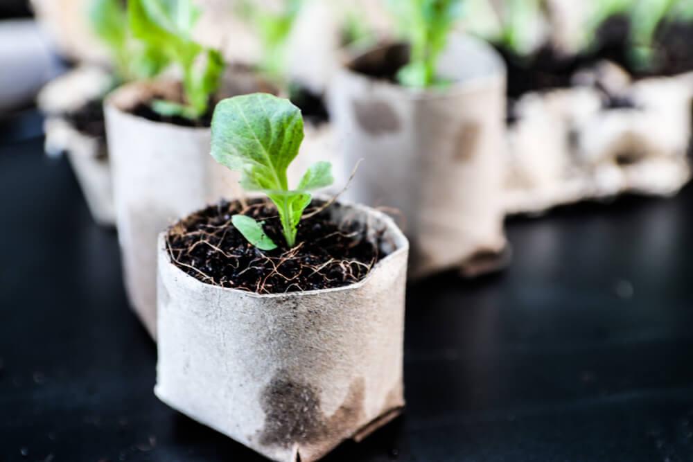 seedlings growing in repurposed toilet paper rolls