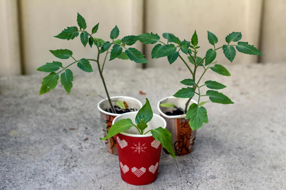tomato plant seedlings in repurposed coffee cups