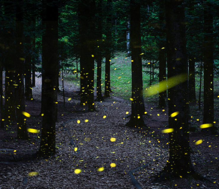 fireflies in wooded forest