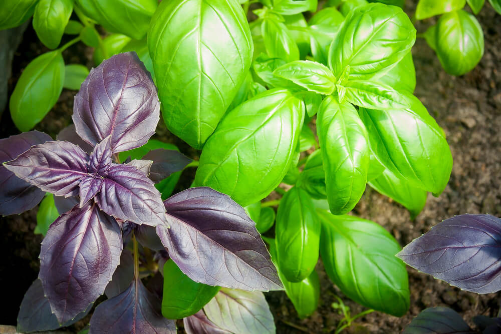 basil growing in medicine herb garden