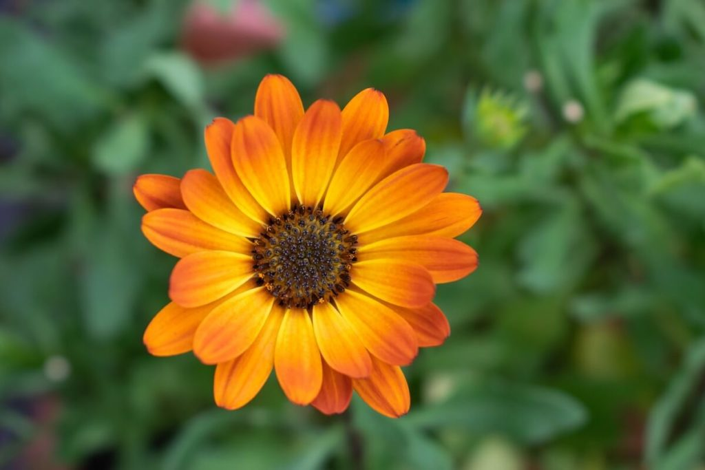 calendula flower in medicine herb garden