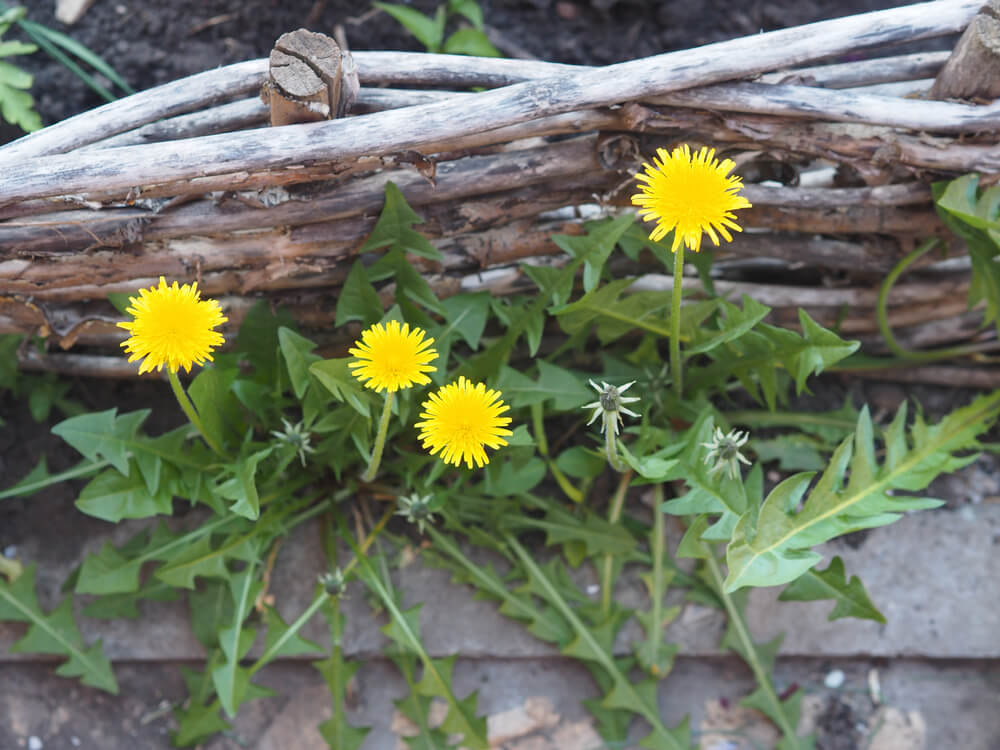 dandelion growing in medicine herb garden