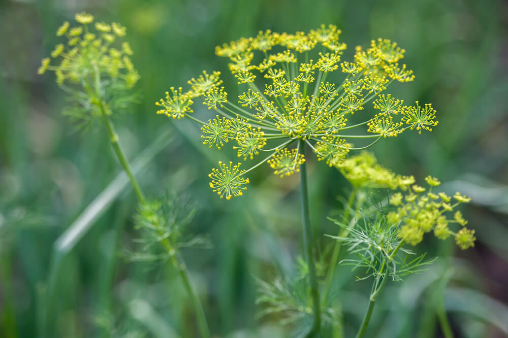 dill growing in medicine herb garden