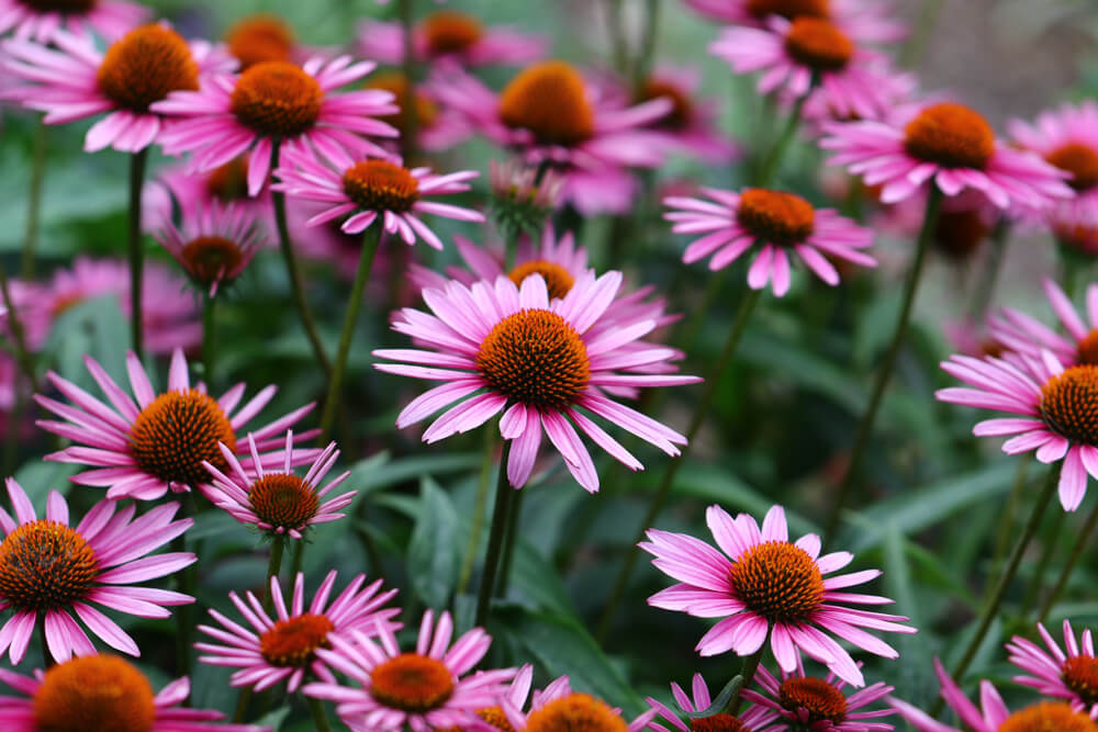 echinacea growing in medicine herb garden
