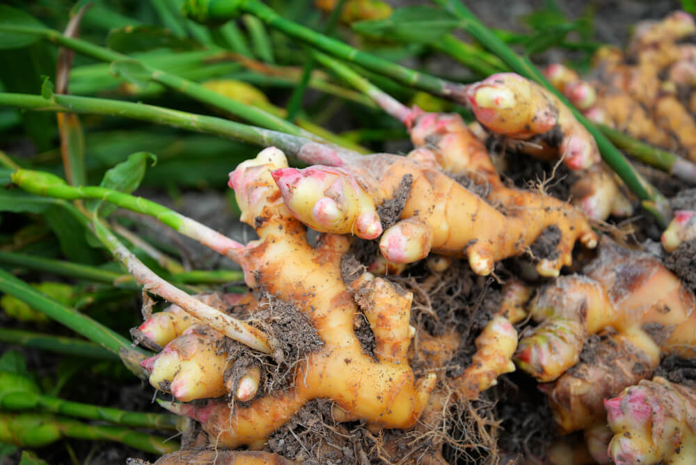 ginger growing in medicine herb garden
