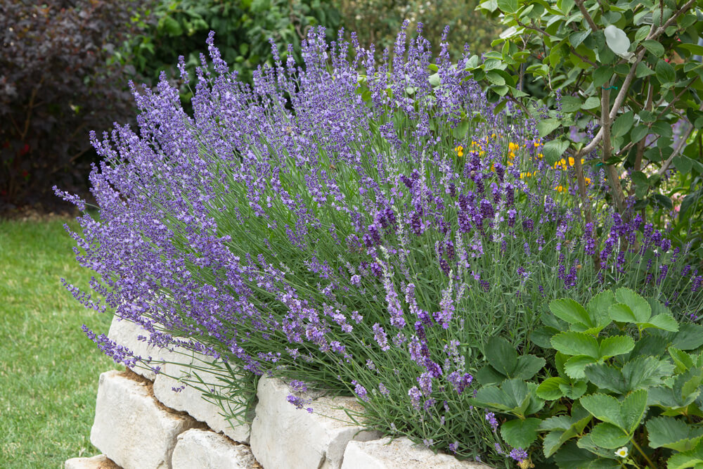 lavender growing in medicine herb garden