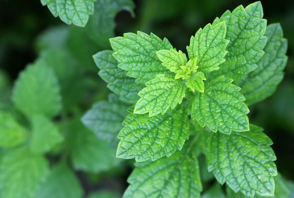 lemon balm growing in medicine herb garden