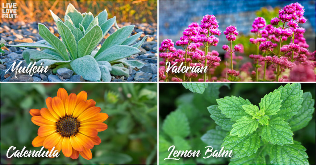 medicinal herbs you can grow in your garden like valerian, lemon balm, calendula and mullein