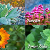 medicinal herbs you can grow in your garden like valerian, lemon balm, marigold and mullein