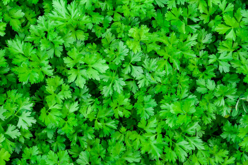 parsley growing in medicine herb garden