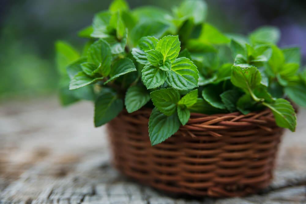 peppermint growing in medicine herb garden