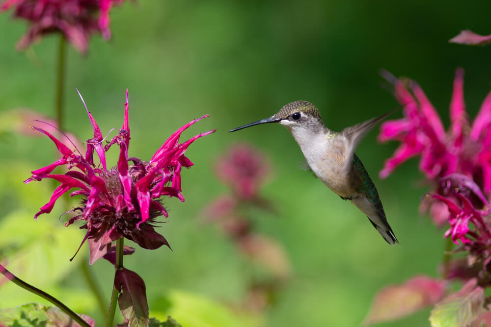 bee balm nectar plant