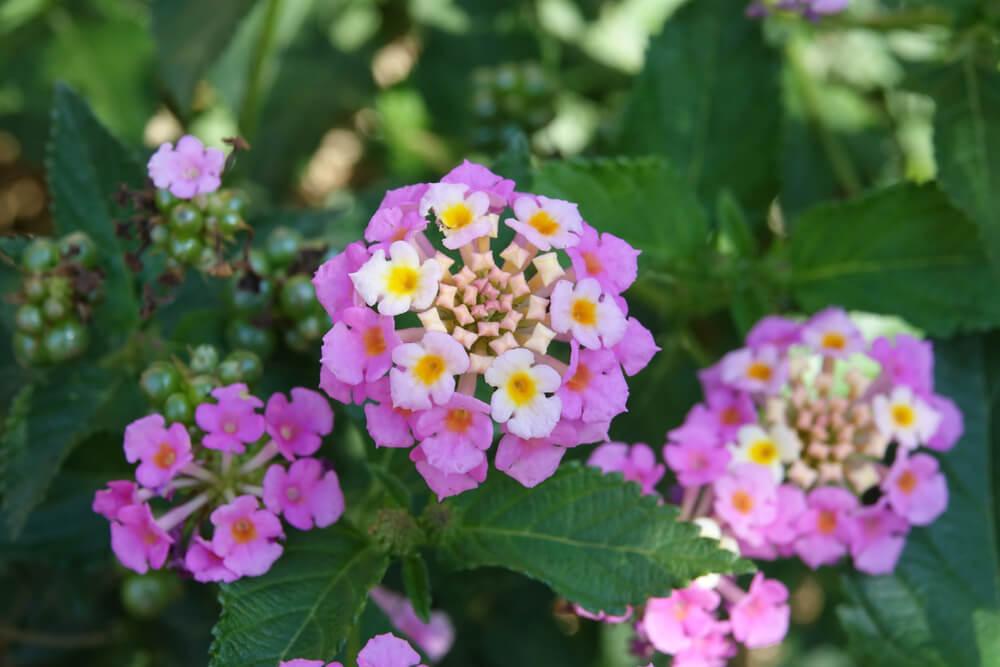 lantana camara nectar plant