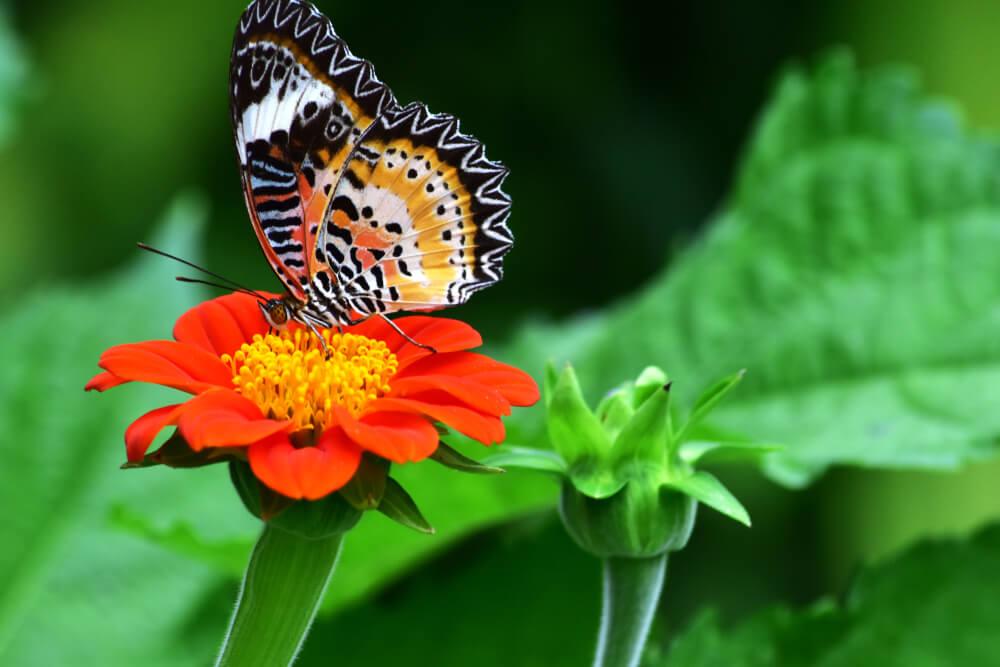 mexican sunflower nectar plant