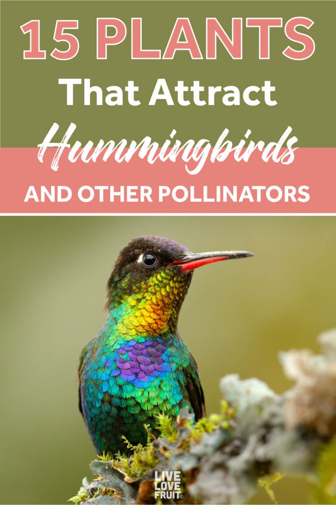 hummingbird sitting on a stick with moss with text - 15 plants that attract hummingbirds and other pollinators