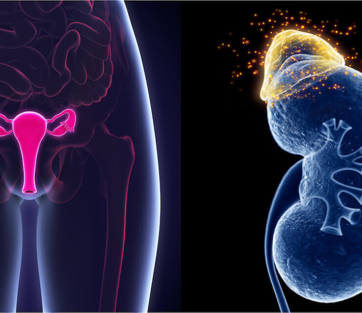 Female Reproductive System next to adrenal glands representing organs in the body responsible for hormone production