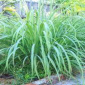 lemongrass plant in garden