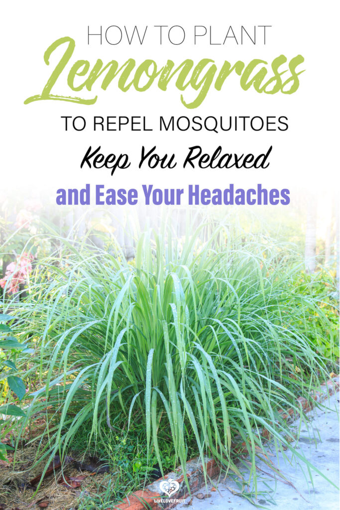 lemongrass plant with text - how to plant lemongrass to repel mosquitoes, keep you relaxed and ease your headaches
